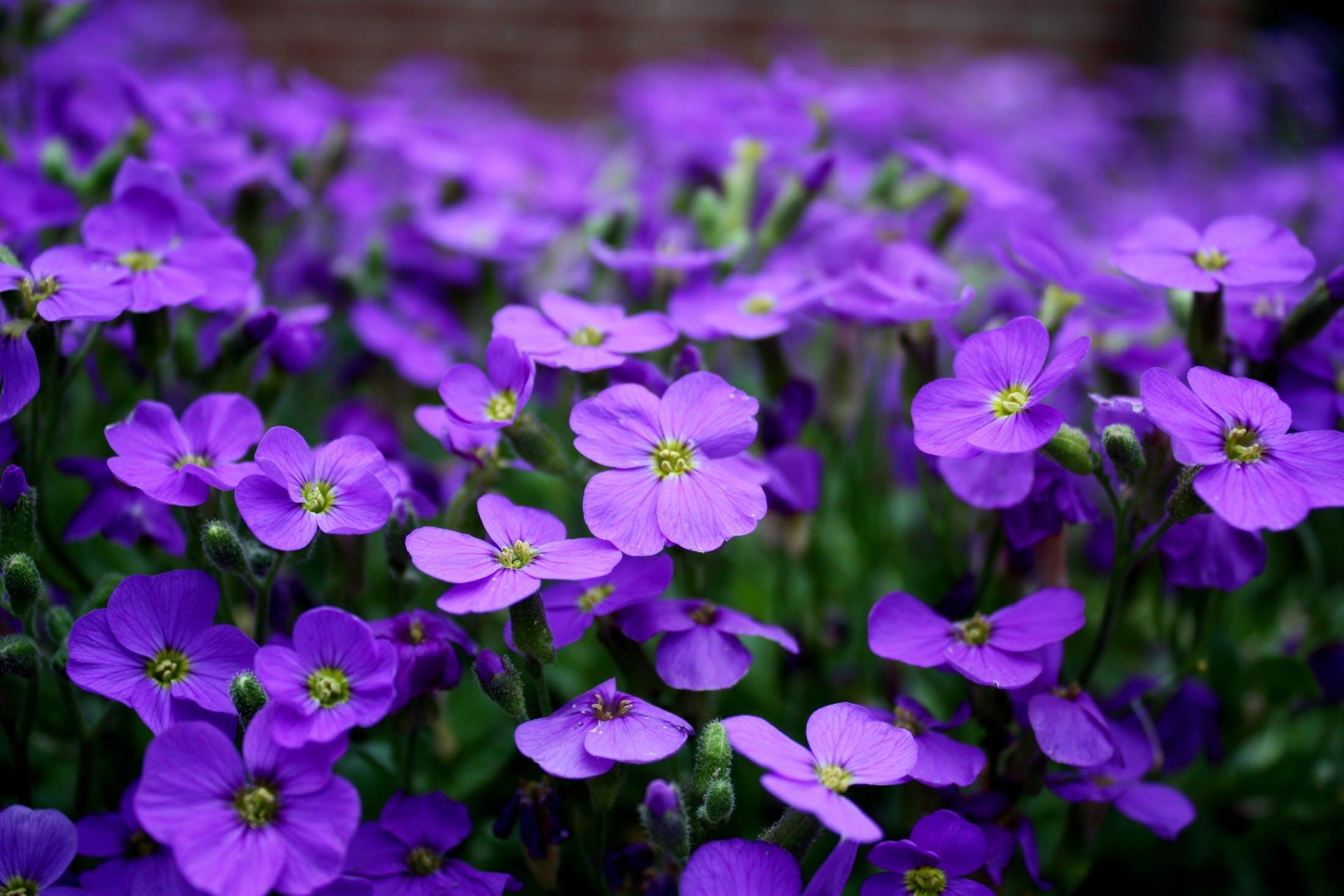 Free stock photo of nature, flowers, purple, plant