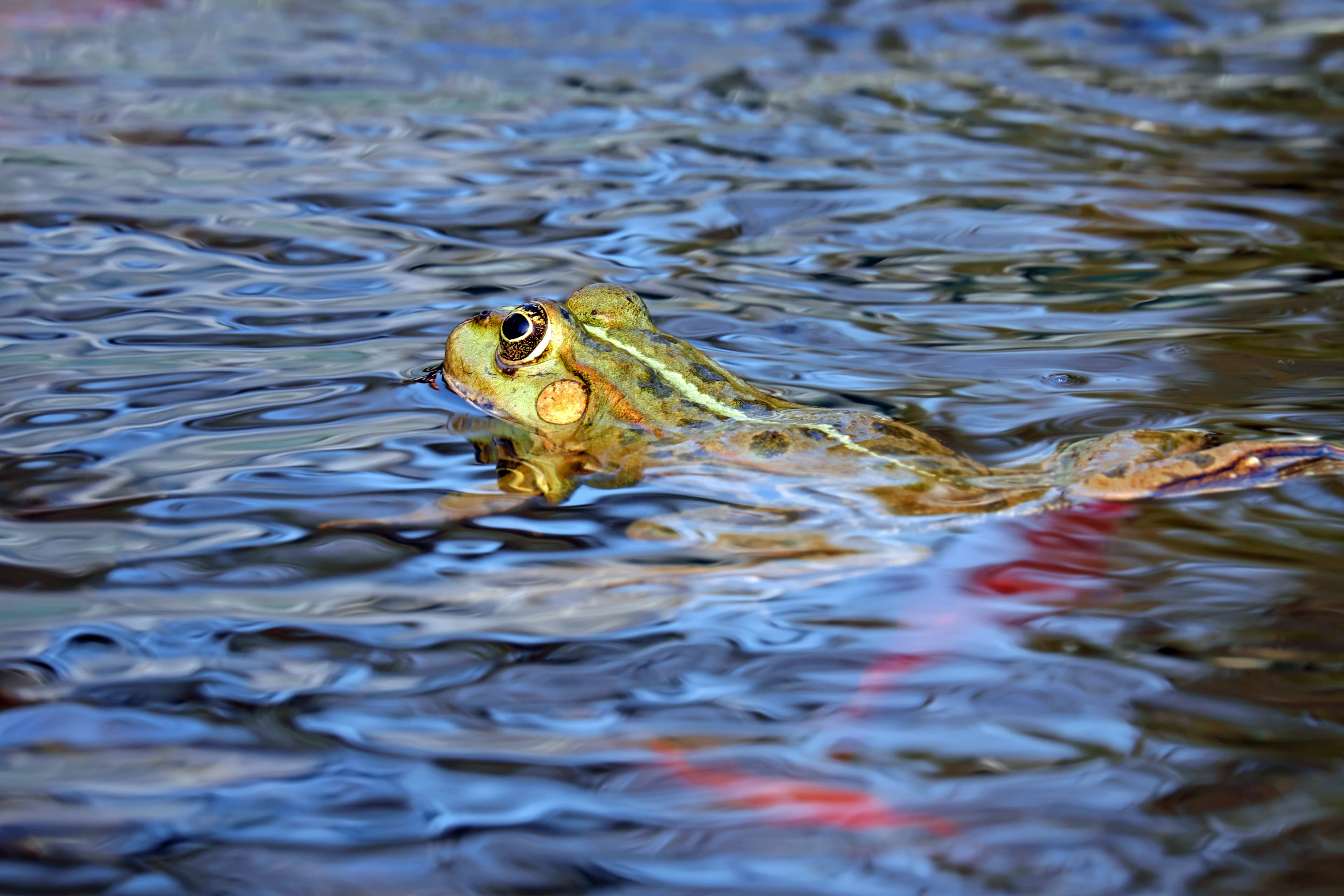 Frog on Water Body