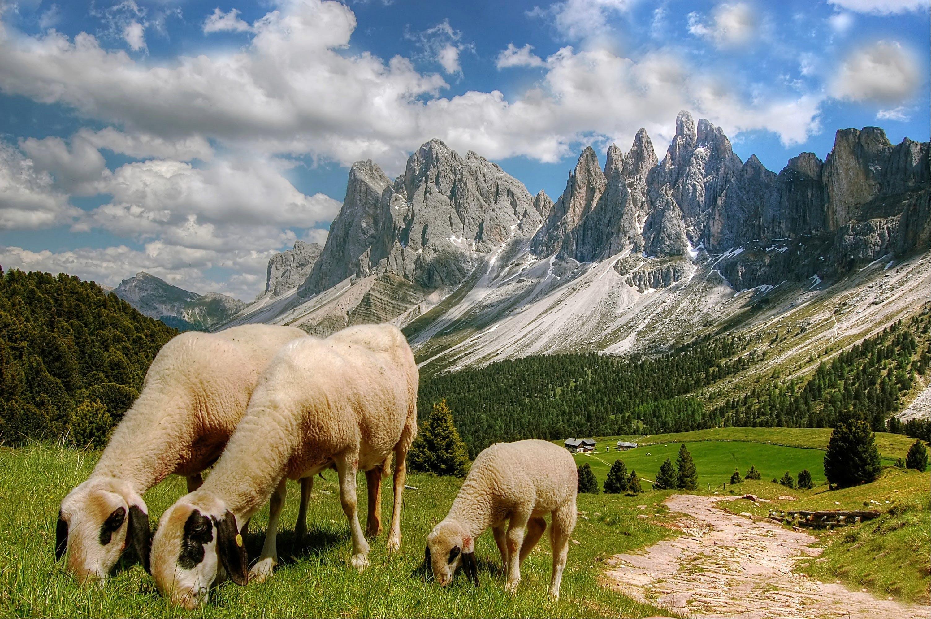 Sheep Eating Grasses