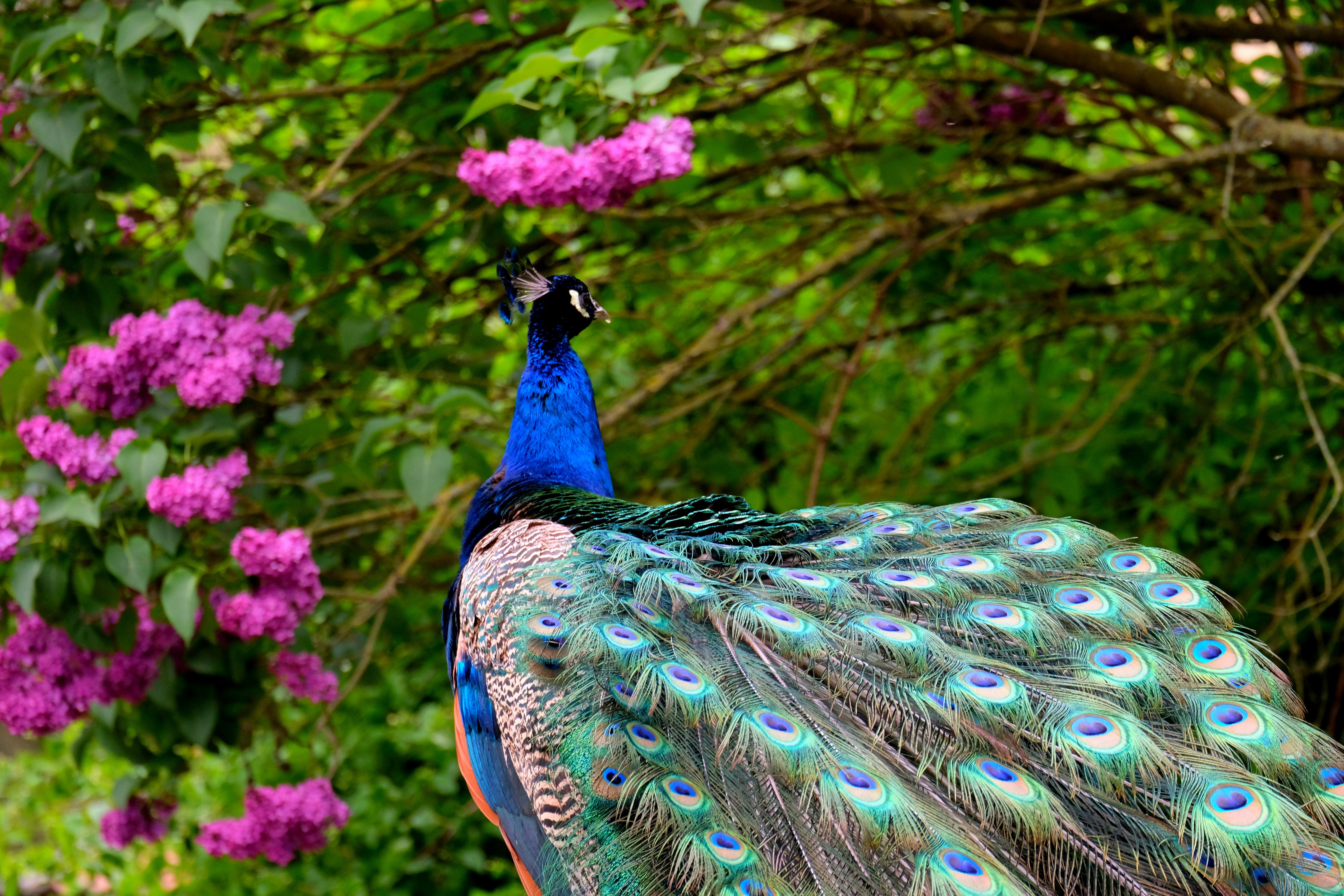Multicolored Peacock