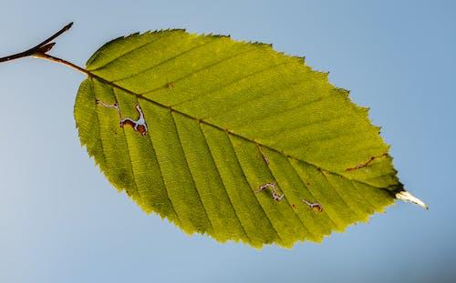 Green leaf of alder against blue sky