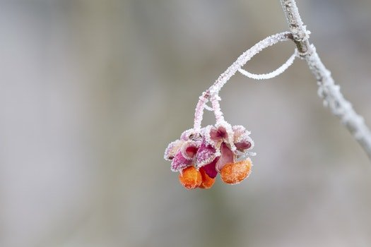 Free stock photo of cold, snow, nature, flowers