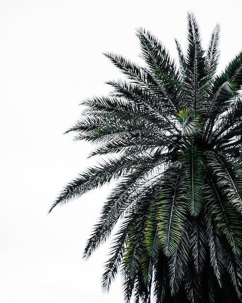 Free stock photo of palm, palm leaf, tree