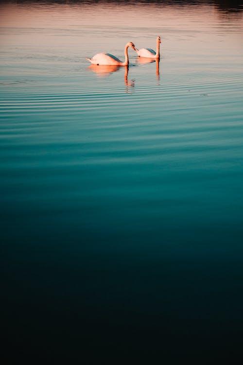 คลังภาพถ่ายฟรี ของ H2O, การสะท้อน, ความรัก, คู่