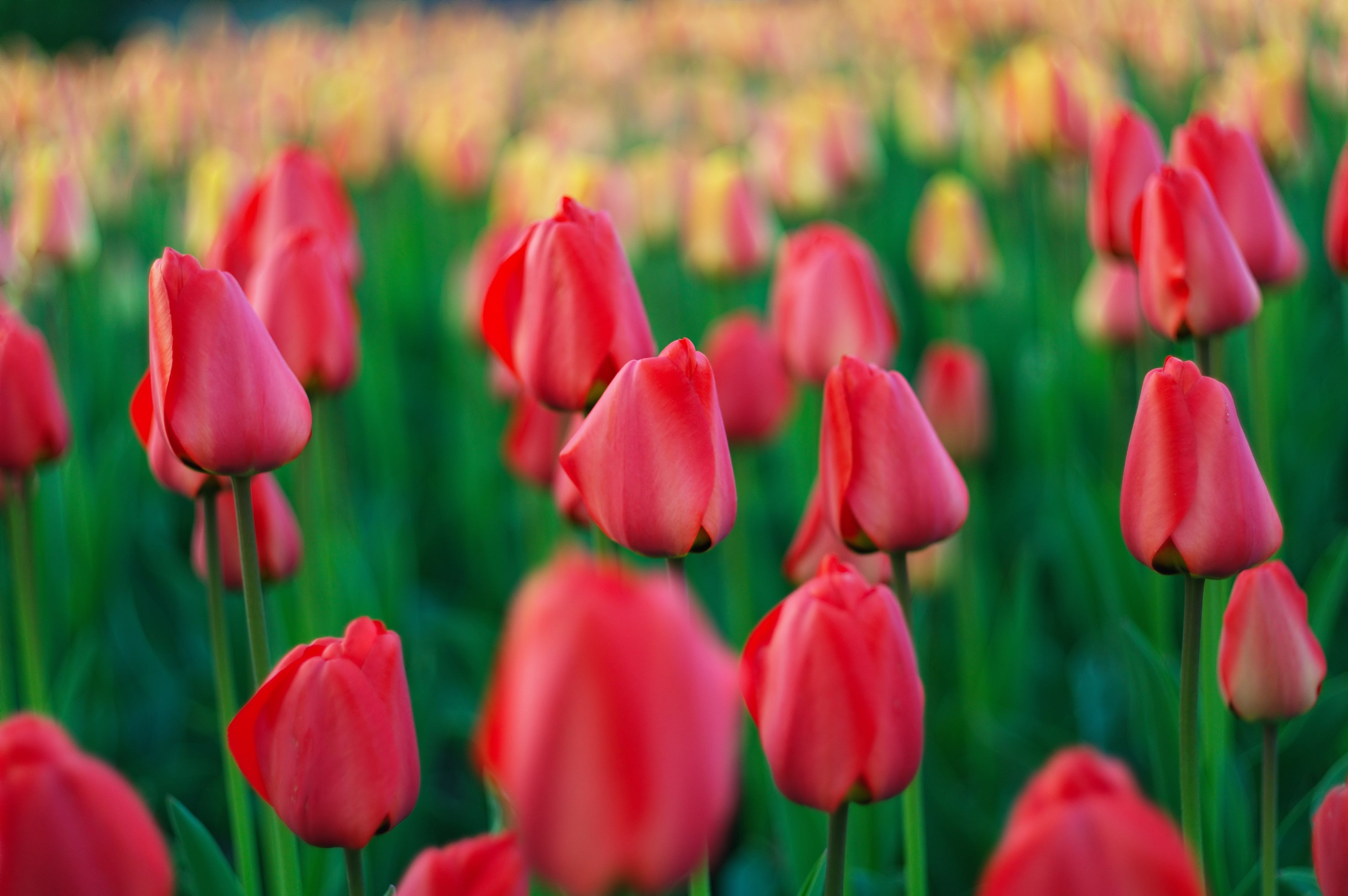 Free stock photo of nature, red, field, flowers