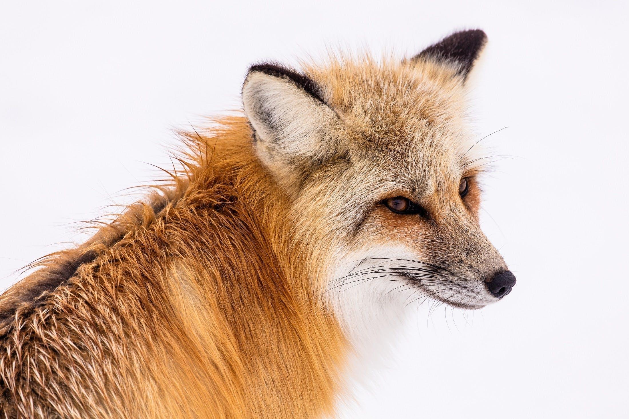 Free stock photo of carnivore, close up, furry, hunter