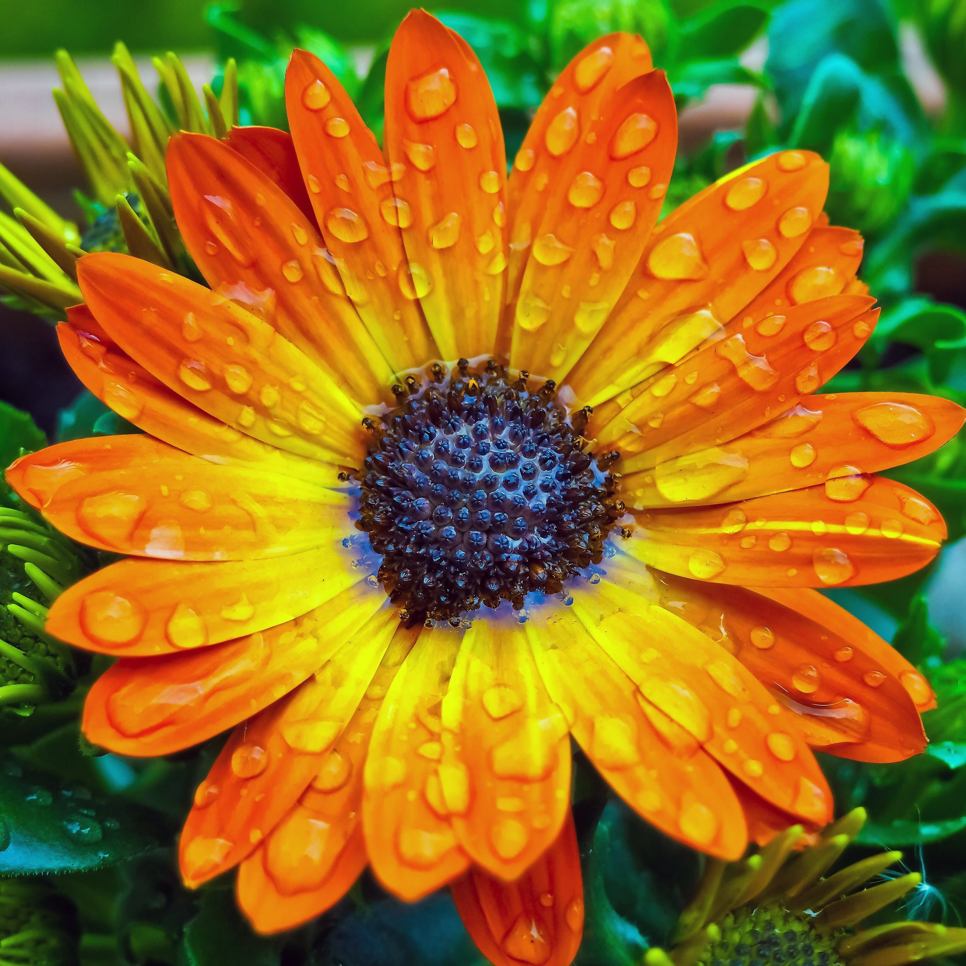 Orange African Daisy Flower in Close-up Photography