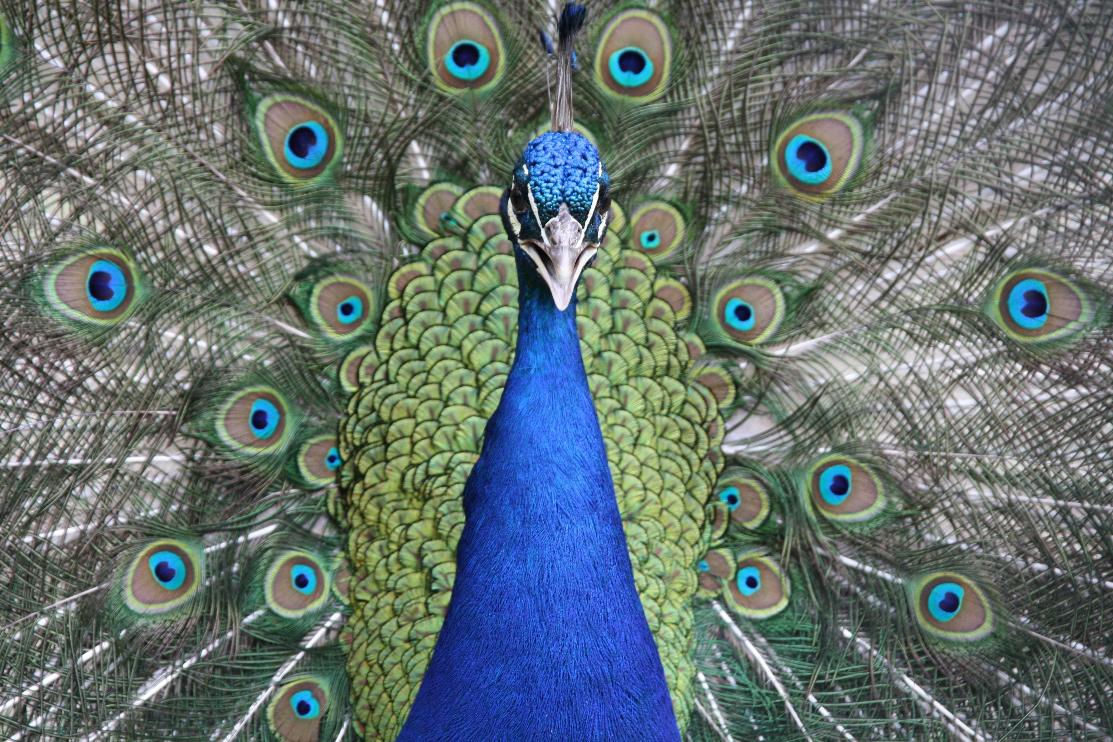 Selective Focus Photograph of Peacock