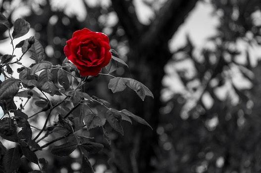 Kostenloses Stock Foto zu schwarz und weiß, natur, romantisch, blütenblätter