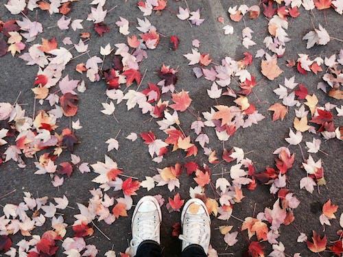 Безкоштовне стокове фото на тему «візерунок, клен, носити, осіннє листя»