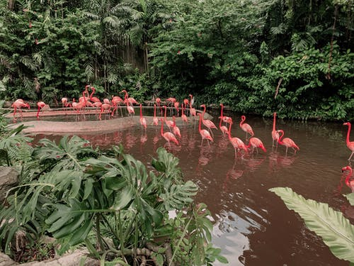 From above of pink flamingos standing in water of pond near green tropical plants and dense greenery