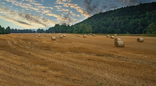 Hay bales in agricultural field near forest
