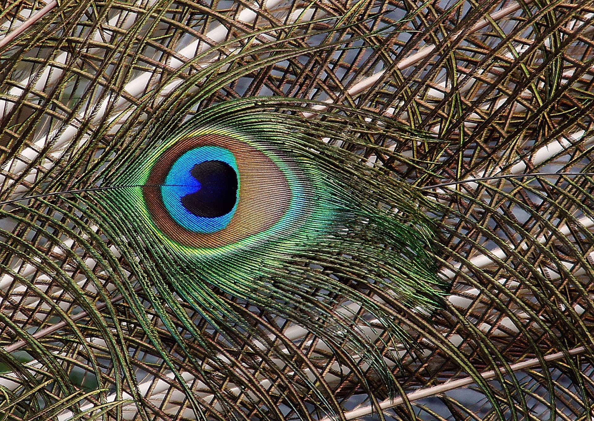 close -up, colourful, feather