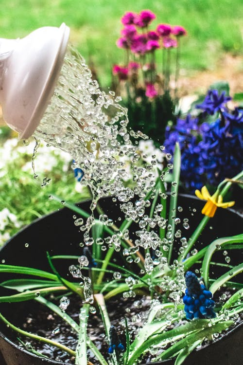 Watering blooming plants in pots in yard