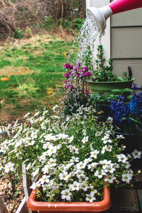 Watering colorful blossoming garden plants in pots placed next to house in village