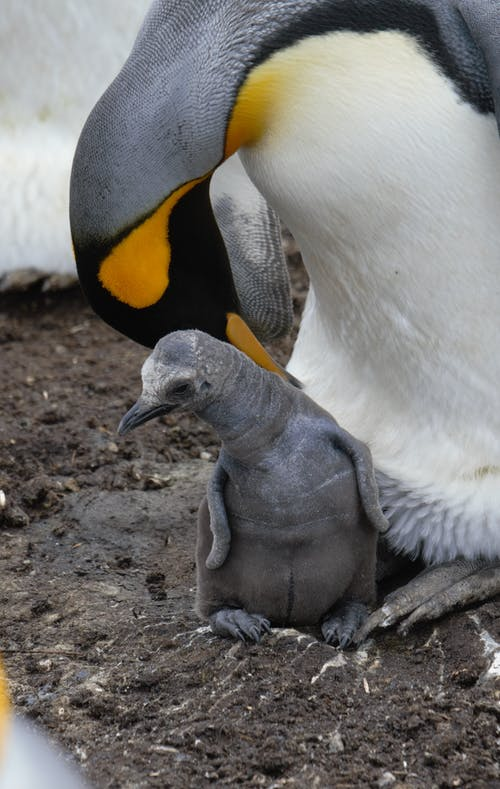 Emperor penguin with cute newborn chick in rookery