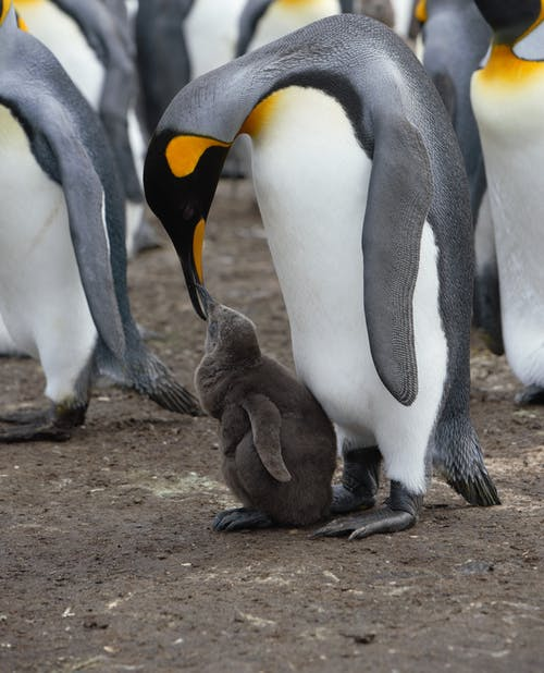 Emperor penguin feeding adorable chick in colony