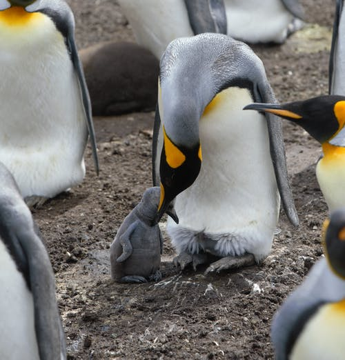 Colony of Emperor penguins on land with adorable chicks