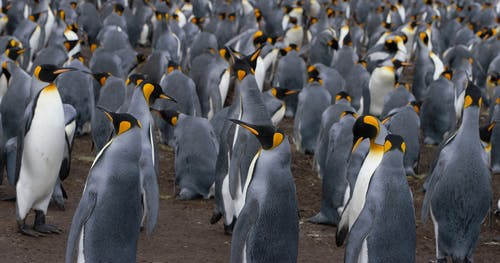 Colony of Emperor penguins on land