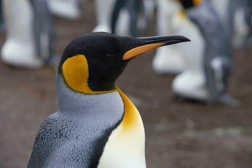 Emperor penguin individual in breeding colony