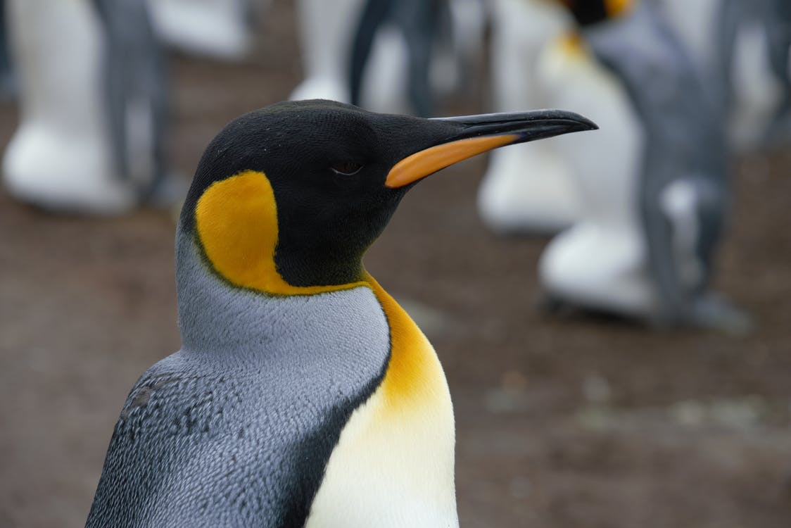 Side view adult Emperor penguin individual in penguin rookery breeding on land
