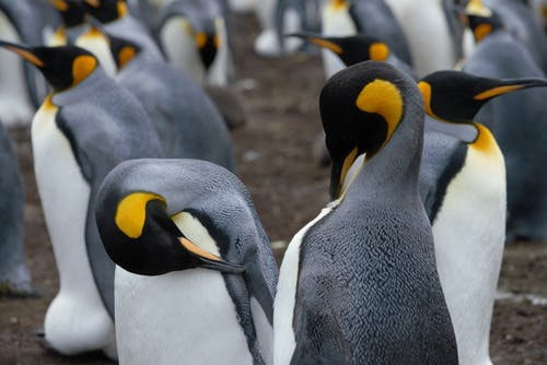 Cute Emperor penguins in breeding colony