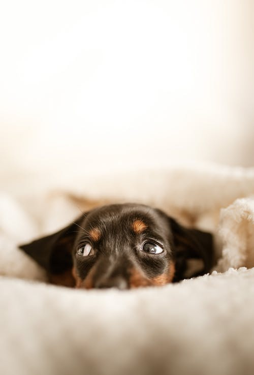 Adorable little Dachshund puppy with black fur lying on soft bed under white blanket and looking away with curiosity