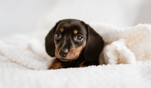 Cute purebred smooth haired Dachshund puppy lying on soft cozy bed under warm white blanket and looking at camera with interest