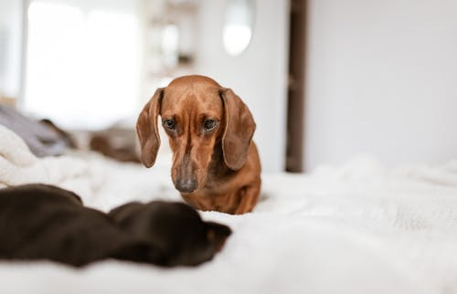 Adorable Dachshund dogs lying on comfy bed