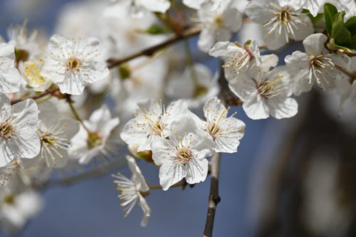 Бесплатное стоковое фото с apple, белые цветы, белый цветок, весенние цветы