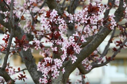 Бесплатное стоковое фото с apple, весенние цветы, весенний цветок, весна