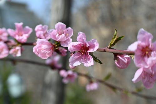 Бесплатное стоковое фото с бутон, весенние цветы, весенний цветок, весна