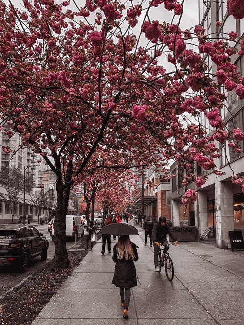 Pedestrians walking along urban street with blooming trees in rain