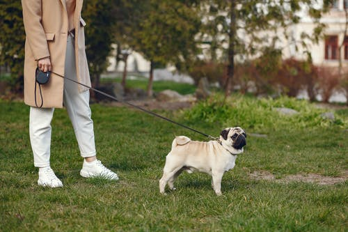 Side view of crop woman in casual outfit  walking pug on leash on lawn in city park at daytime