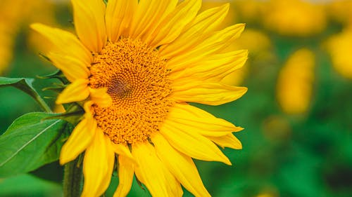 Bright yellow sunflower growing on blurred green agricultural field on sunny summer day