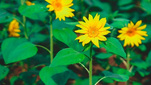 Bright yellow sunflowers blooming on green horticultural field on sunny spring day