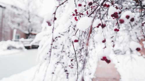 Branches of cherry tree covered with ice and snow growing on backyard during freezing winter day