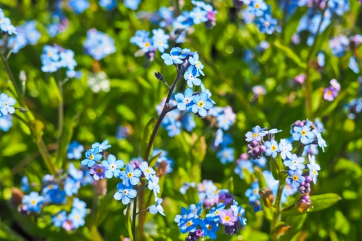 Free stock photo of nature, field, flowers, blue