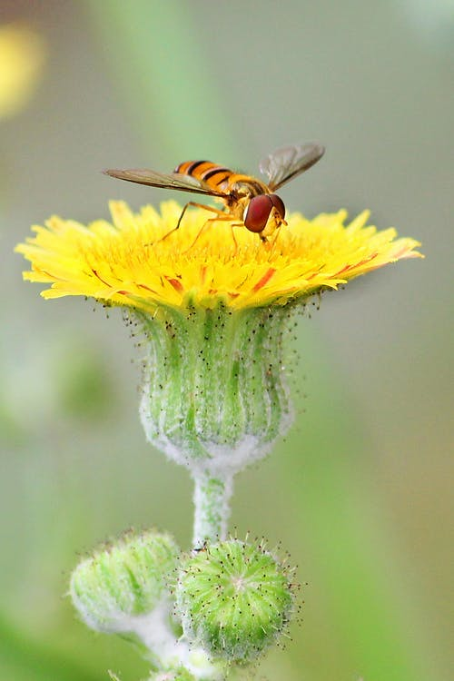 Predatory insect with striped abdomen and transparent wings eating pollen on colorful blooming yellow flower with gentle petals in summertime