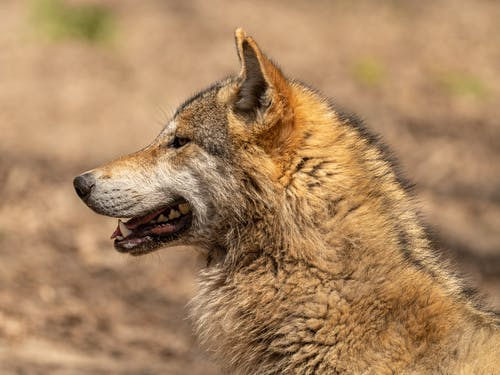 Side view of brown wolf muzzle with sharp fangs and thin whiskers and thick coat with mane looking away on blurred background in zoo