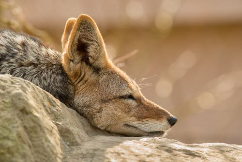 Muzzle of swift fox resting on stone in zoo