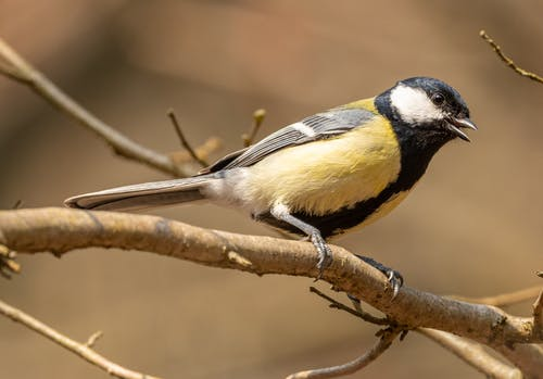 Tit resting on dry tree twig in zoological garden