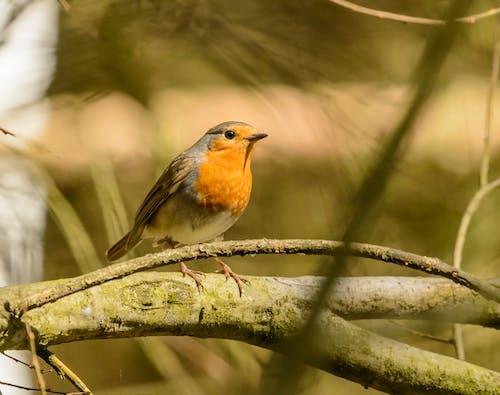 Bright European robin on tree branch in zoo
