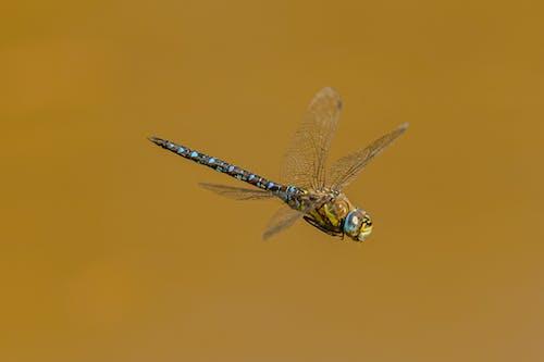Mosaic darner flying on brown background