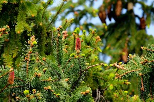 Бесплатное стоковое фото с ветвь, вечнозеленый, завод, зеленый