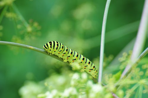 Bright caterpillar with ribbed ornamental abdomen and many legs crawling while eating thin green leaf in daylight in garden