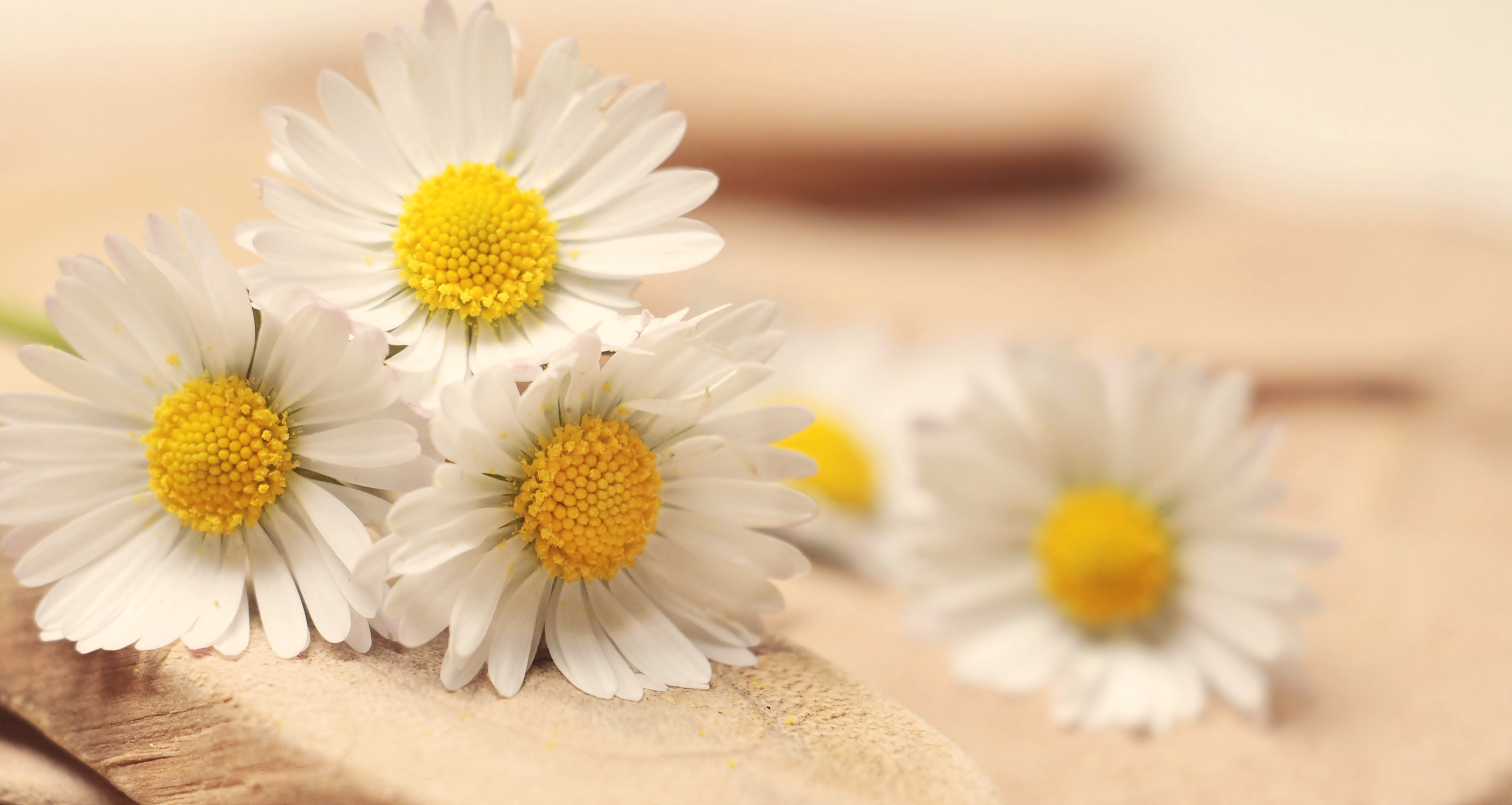 Yellow Daisy Flowers On Surface Free Stock Photo