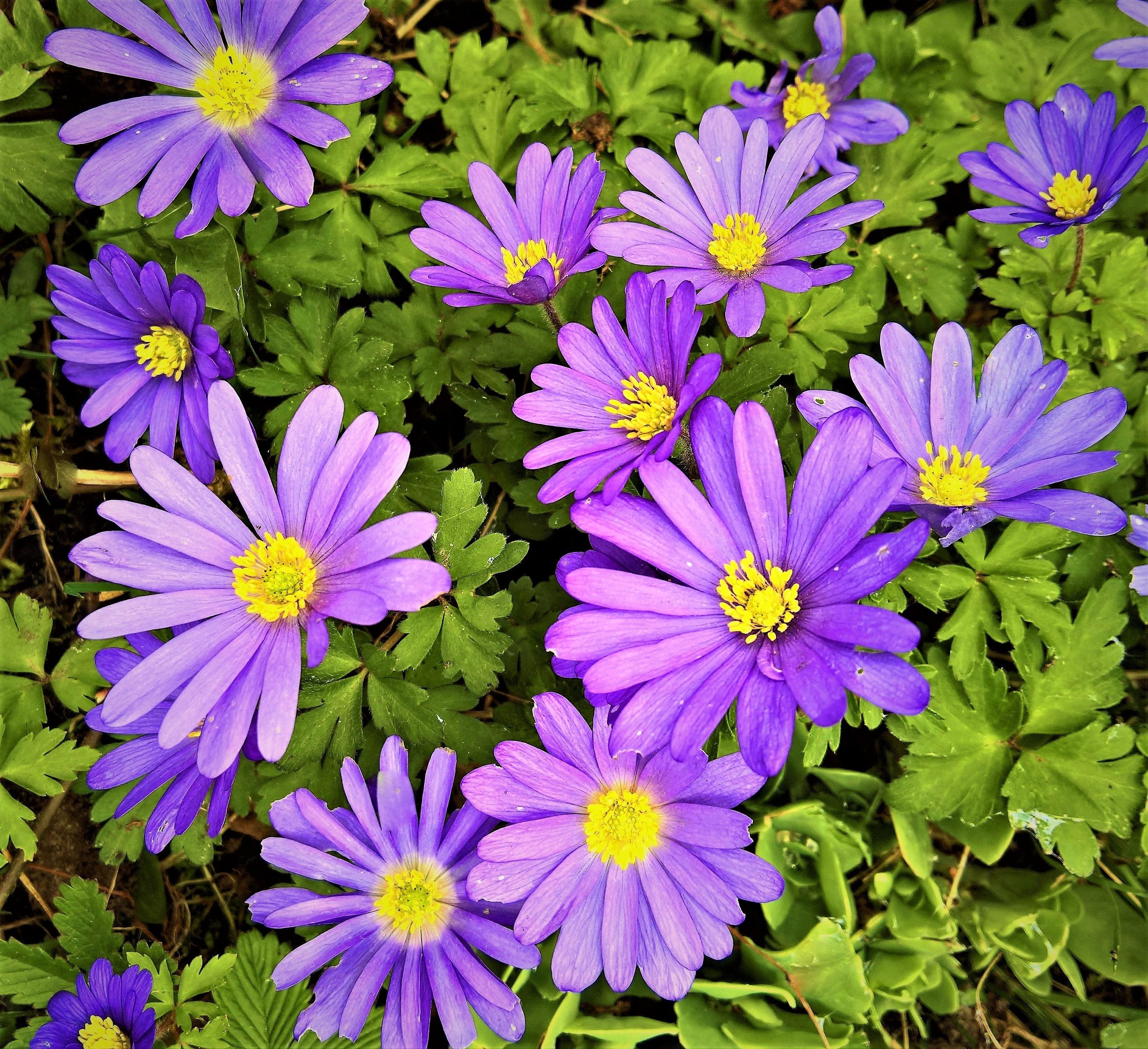 Free stock photo of anemone blanda balkan anemone blue violet flowers free download izmirmasajfo