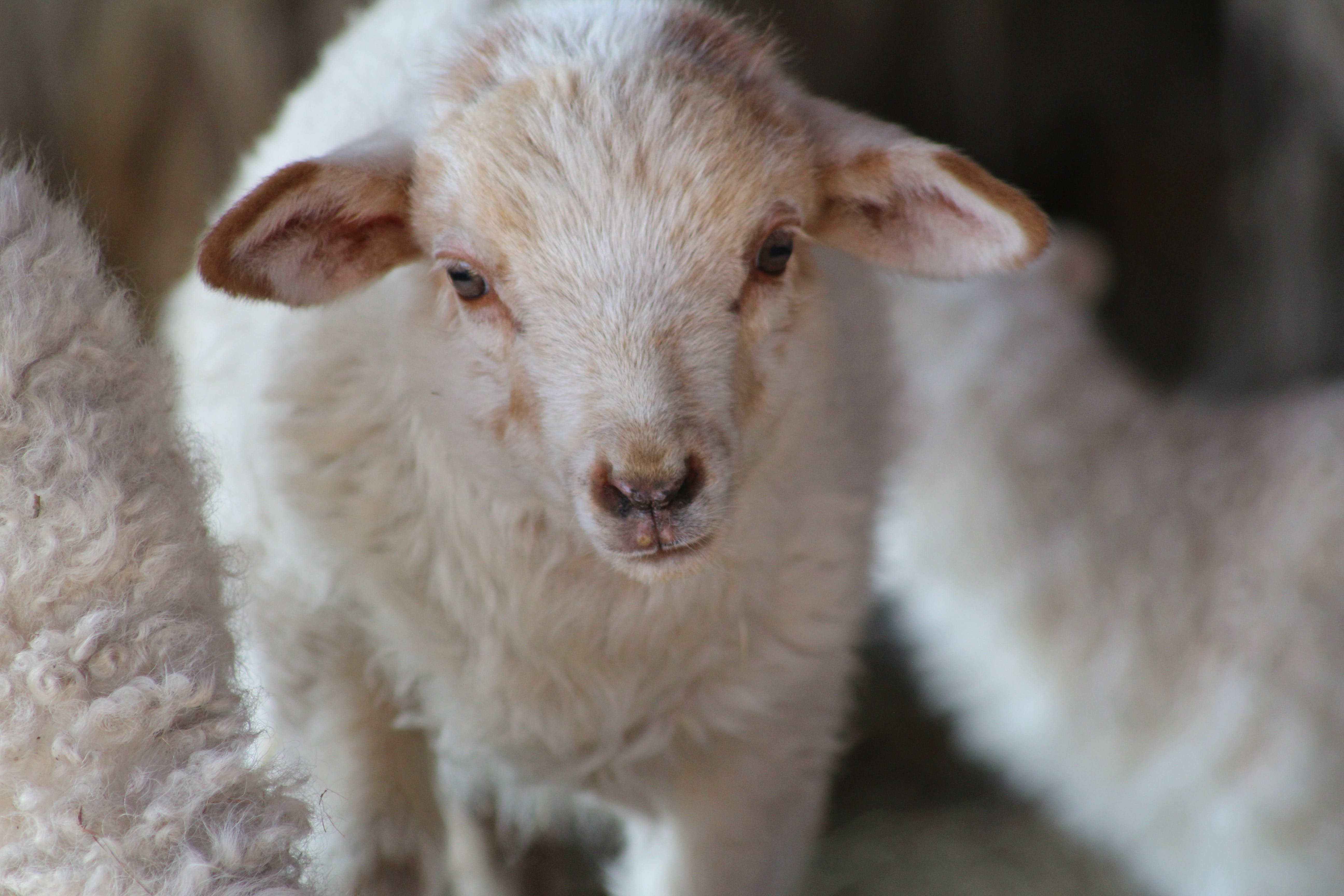 Free stock photo of animal, baby, cute, farm