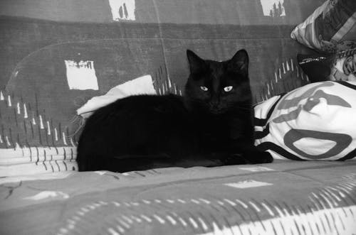 Photos gratuites de animal de compagnie, chat couché, chat noir, félin
